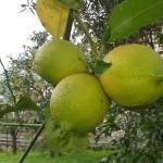 limoni limoni